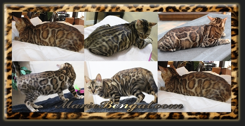Adult bengal cats