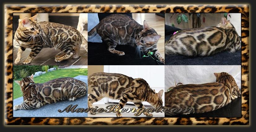 Bengal cat breeder near Ottawa - We breed amazing Bengals
