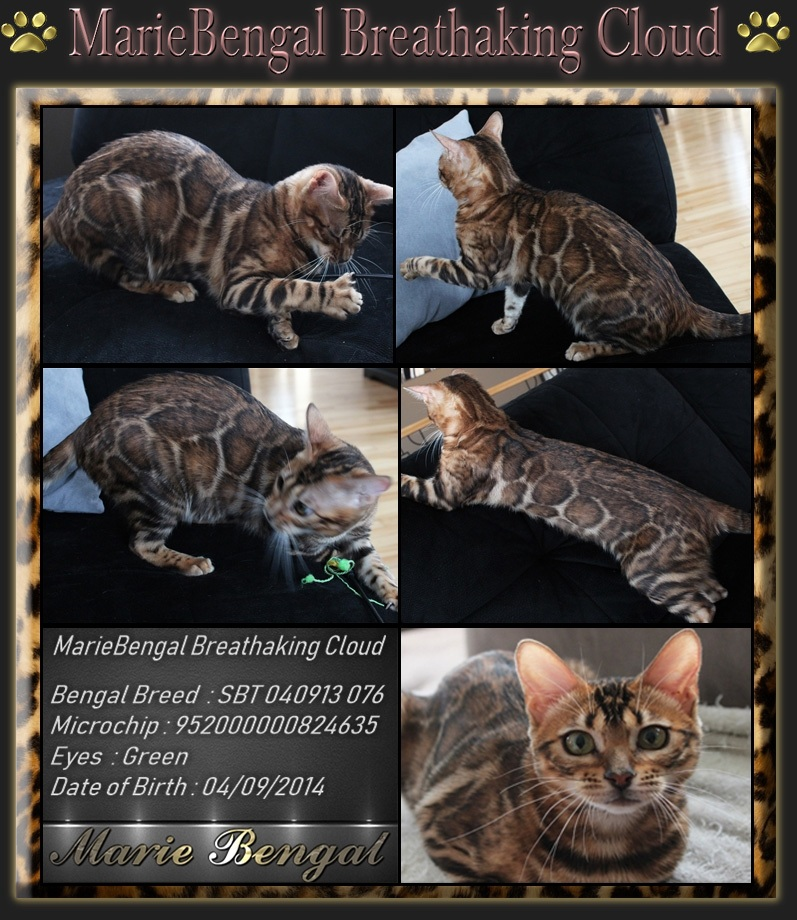 See Our Breeding Bengal Cat Stunning Cats Marie Bengal