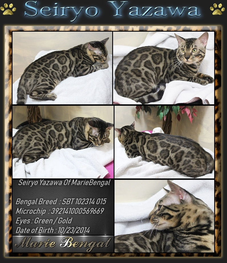 Bengal Cats breeding Studs >> Our Breeder - Marie Bengal