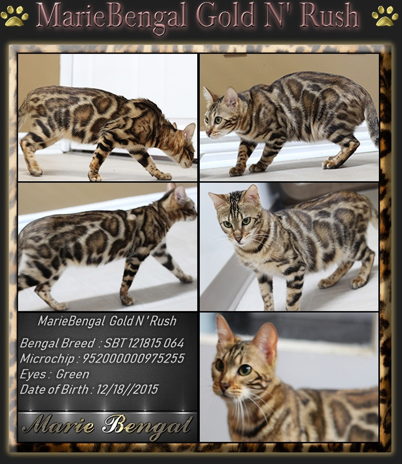 See our breeding Bengal Cat >> Stunning Cats - Marie Bengal