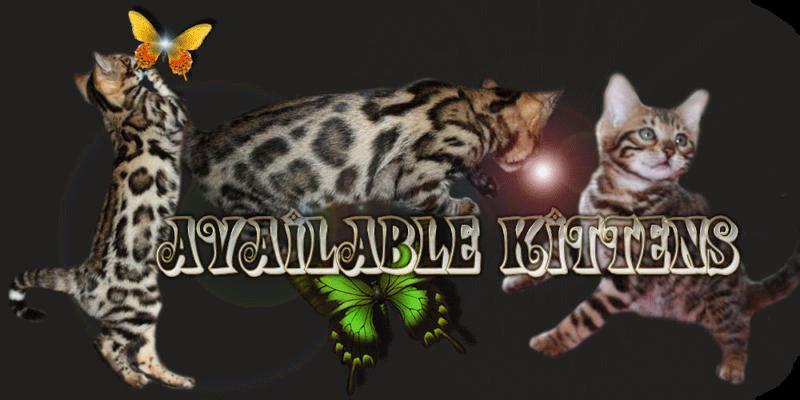 Bengal Cat for sale near Ottawa > Amazing kittens - Marie Bengal