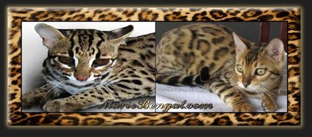 Le Chat De Bengal Et Ses Origines Un Petit Leopard Marie Bengal