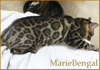 studs of marie bengal cat