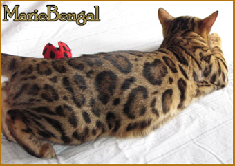 bengal chat star struck