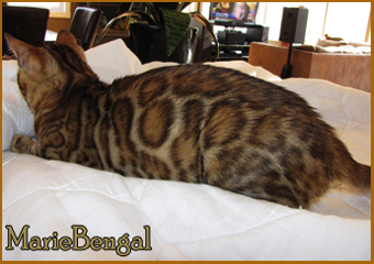 bengal cat female queen