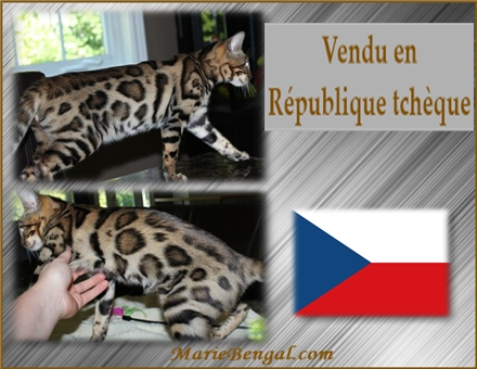 bengal cat in Czech Republic