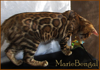 next generation, bengal cat stud
