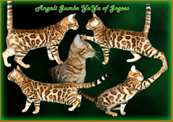 gogees chat bengal, kittens from Yaya girl