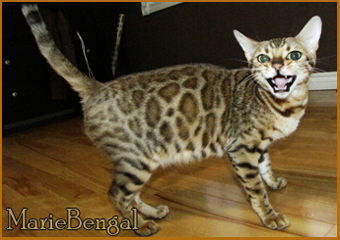 Gogees bengal cat breeding girl