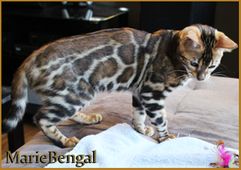 Limited Edition, bengal cat stud
