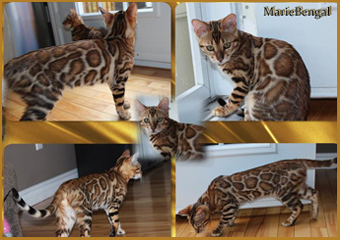 bengal chat mariebengal day dream