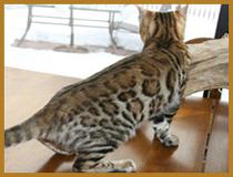 chat bengal de mariebengals - Chaton Bengal Gratuit