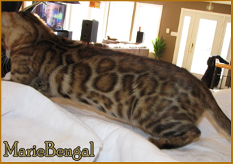 bengal cat leopard mix breed
