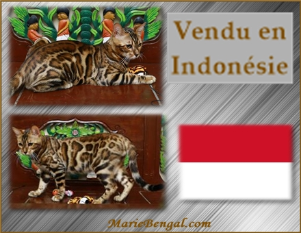 chaton bengals en Indonesia