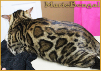 chat bengal male