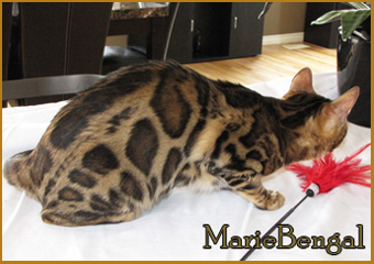 bengal cat ottawa, big rosettes