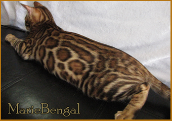 studs of mariebengal cattery