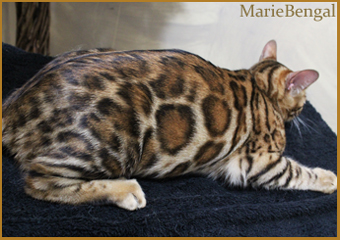 Our breeding bengal cat queens marie bengal cattery - Chat du bengal gratuit ...