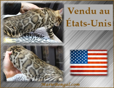 bengal chat étas-unis