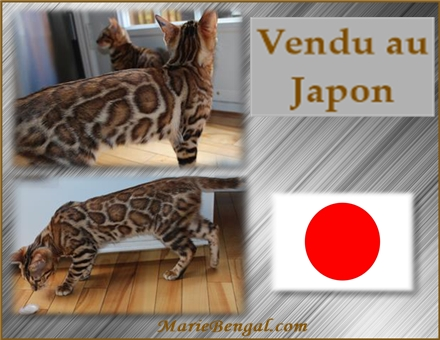 Chat bengal au Japon