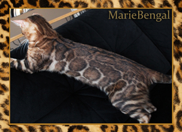 chatte bengal reproductrice