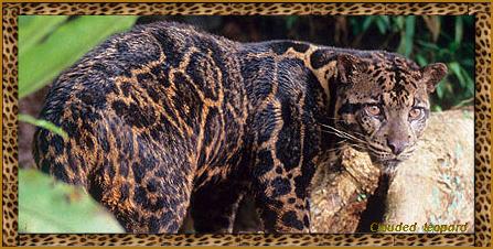 clouded leopard like a marbled bengal cat. chat bengal marbré a vendre quebec