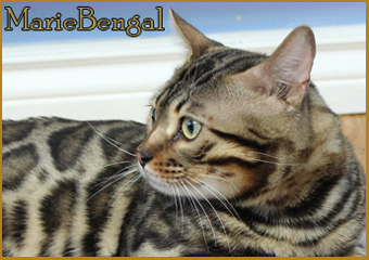 bengal cat wild head black brown
