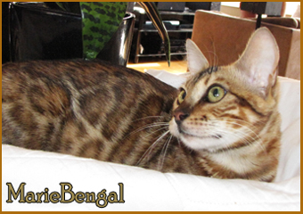 mariebengal Just Amazing head type