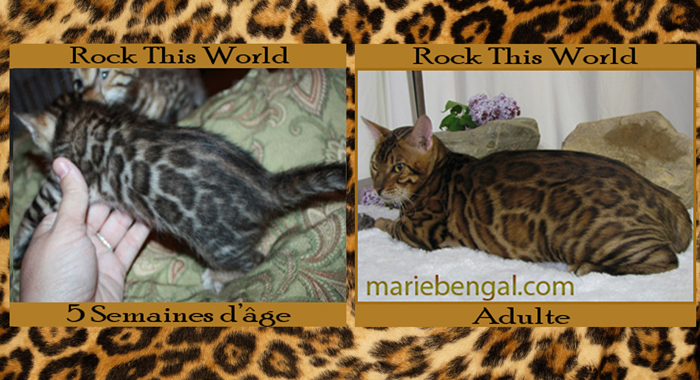 chatons bengal fuzzy
