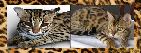 felis,bengalansis le chat leopard, chat tigre