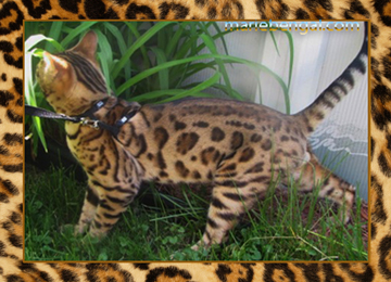 Chat bengal pedigree wild cat