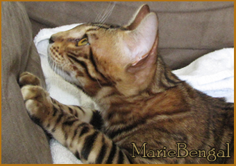 type and profils of bengal cats