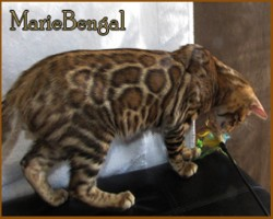 chat bengal en action