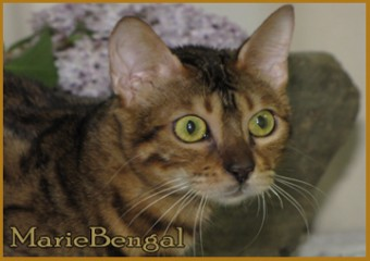 bengal cat head profils