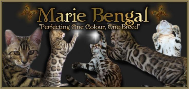 Bengal cat for sale near Ottawa >>MarieBengal<<