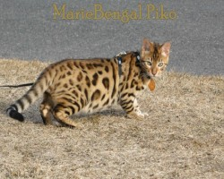 whte tummy chat bengal