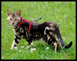 brown spotted tabby bengal