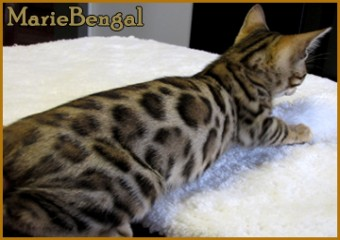bengal cat rosette and contrast