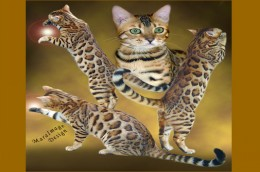 Fancy of Dazzledots bengals