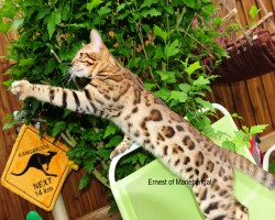 chat bengal brown black spotted tabby